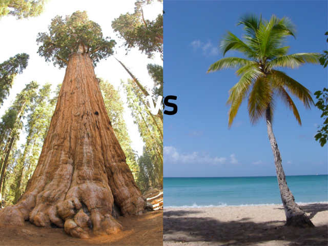 General Sherman vs Palm Tree