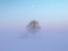 Tree_in_field_during_extreme_cold_with_frozen_fog